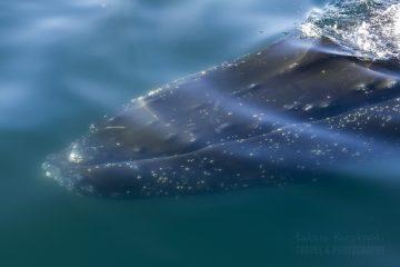 _M4_2031-antarktyda-wieloryb