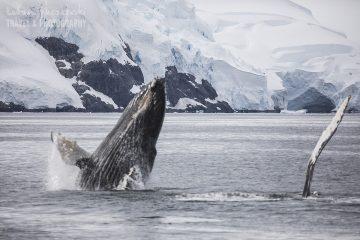 _M4_7563-antarktyda-wieloryb
