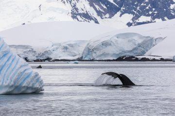 _M4_7971-antarktyda-wieloryb