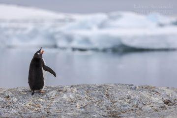 _M4_8501-pingwin-antarktyda