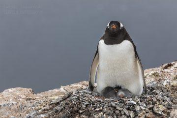 _M4_8590-antaktyda-pingwin-mlode