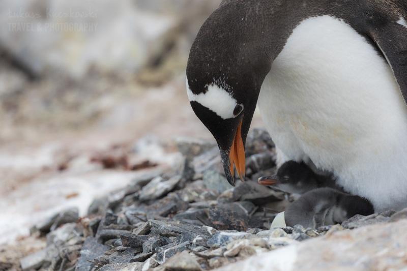 _M4_8620-antarktyda-pingwin-mlode