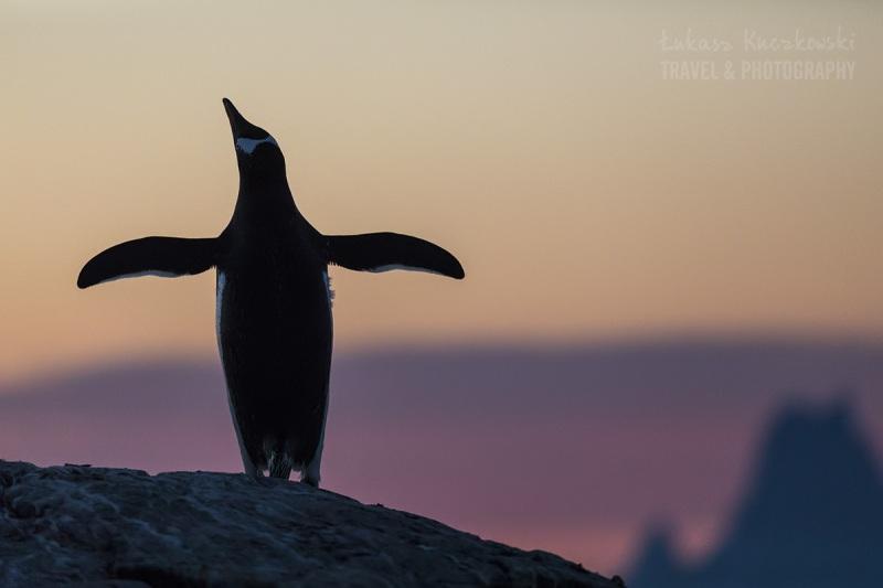 _M4_9474-antarktyda-booth-island-pingwin