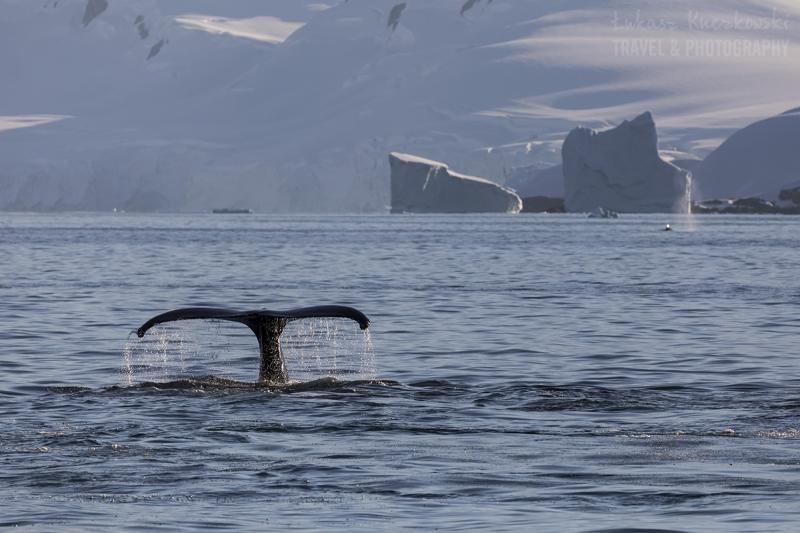 _M4_2527-antarktyda-wieloryb
